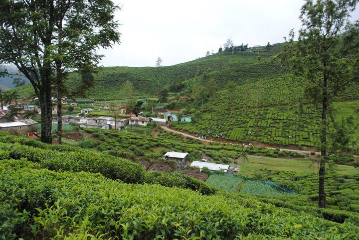 sri lanka tea farms